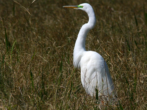 Great Egret 20100228