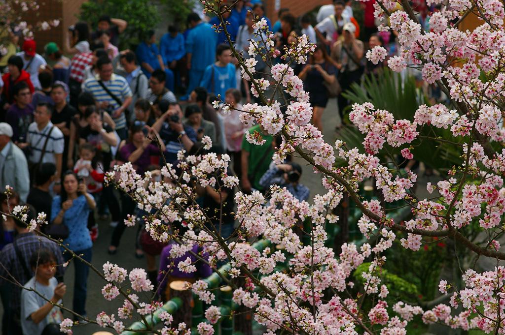 淡水天元宮   拍櫻花