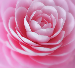 CAMELLIA (ajpscs) Tags: pink flower color macro nature japan japanese tokyo petals nikon 日本 nippon 東京 camelia 花 tamron マクロ oji tsubaki kitaku tamron90mm d300 椿 ouji 王子 茶花 asukayamapark ニコン ajpscs タムロン ōji cháhuā 飛烏山公園