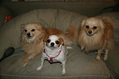 3 out of 4 (mylilangel58(aka Jane)) Tags: bear chihuahua dogs mutt puppies pack mutts sweetie pomeranian lili 2009 hybrids pomchi chiranian
