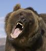 grizzlybear original (Vorlage)