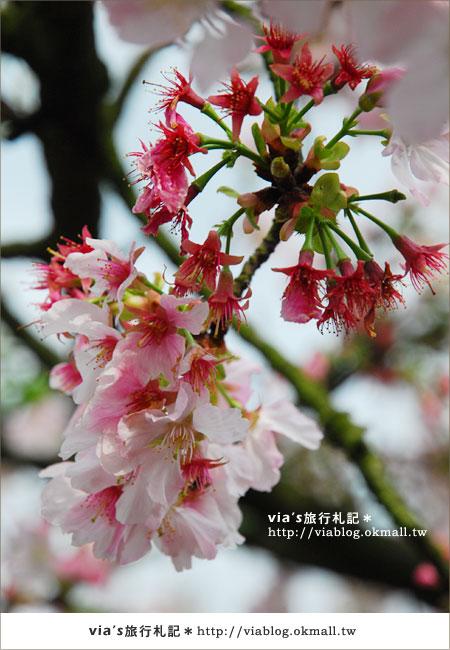【淡水天元宮櫻花】跟著via賞花趣~天元宮櫻花最新花況4