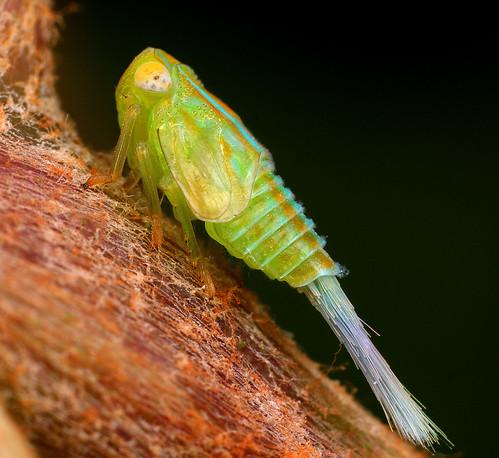 Leafhopper135@1024