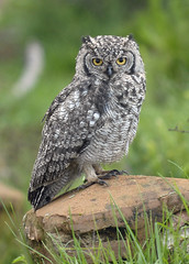 Spotted Eagle Owl at Nyika