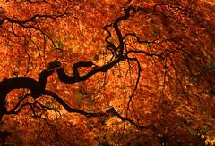 Flaming Branches (Kodachrome) (fotostevia) Tags: kodachrome64 pentaxkx japanesegardensportland fallcolors japanesemaple pentaxk5518