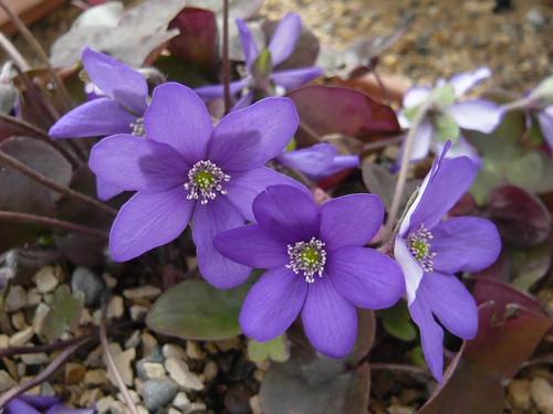 Hepatica nobilis Cobalt
