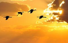 Icarus (Len Radin) Tags: sunset bird birds composite alaska gold wings flock group flight cranes caribbean 100 icarus sandhill comment radin sandhillcranes naturesfinest goldhour goldstaraward artofimages platinumpeaceaward daarklands bestcapturesaoi drurydrama bestofmywinners coth5