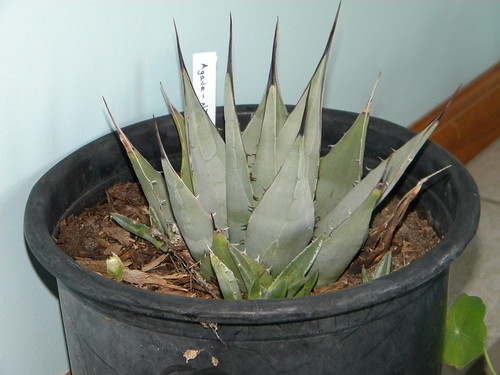 Check out our new Agave NeoMexicana