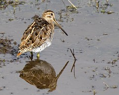 Two for the price of one (Andrew H Wildlife Images) Tags: reflection bird nature wildlife warwickshire wader snipe brandonmarsh canon7d ajh2008