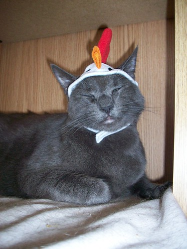 chicken smile hat cat grey gray posing shorthaired