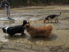 Muddy party! (jnoc) Tags: dog dogs montague montagueplains