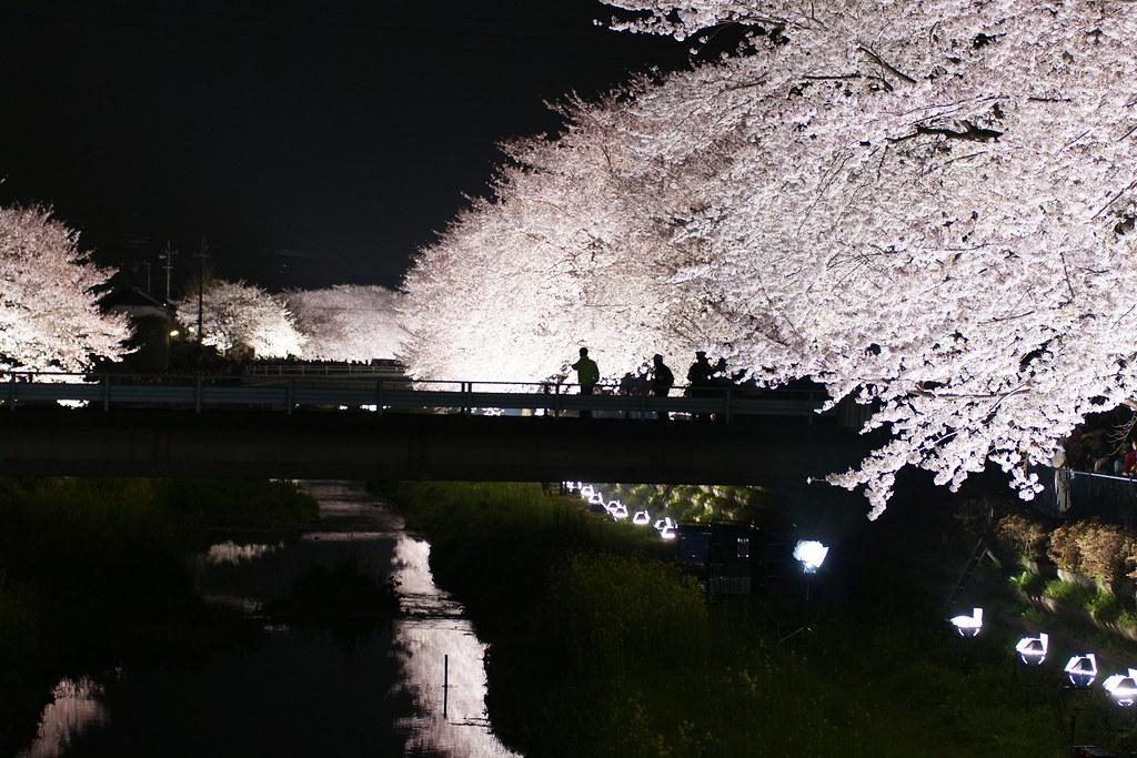 2010野川桜ライトアップ 1