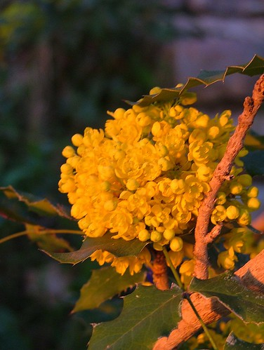 mahonia aquifolium in the sunset