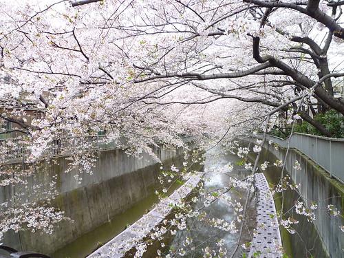神田川・小滝橋の桜