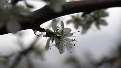 plum blossom raindrop reflects cloudy day (bijoubaby) Tags: flowers usa cloud white blur flower macro reflection tree water rain fruit clouds grey spring waterdrop artist day branch dof cloudy blossom bokeh blossoms gray creative plum drop h2o indie wa independence tones rainfall raindrop fruittree muted reflects autonomy goldbar refract takeapicture rhymeswithorange netneutrality italianplum bijoubaby takeapictureitlastslonger matters2me bijoubabybaby itlastslonger