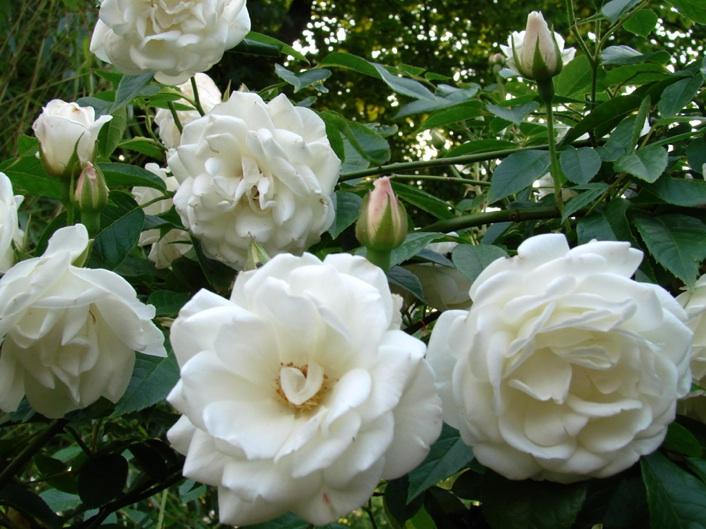 Bloemen zijn zuiver wit en de gele meeldraden houden lang hun kleur