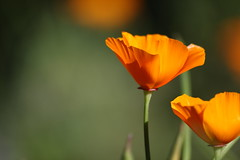 California Poppy (says google images)