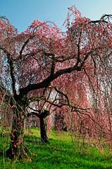 Shidarezakura () Tags: trees alberi cherry photography photo foto photographer photos blossoms zen fotografia stefano fotografo ciliegio trucco ciliegi burcina shidarezakura zush flickraward concordians nikonflickraward vanagram ciliegiopiangente stefanotrucco