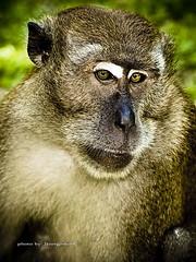 bad boy.... (SuzailanJai) Tags: malaysia ape beast primate badboy selangor evolt monyet monkeybusiness rawang esystem zd50mm hutanlipurkanching e520 zuikodigital50mmf2macro portraitofnature olympuse520 olympusmalaysia placesofinterestinselangor klnatureouters klnaturegroup portraitofmonkey placesofinterestinmalaysia