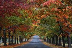Pin Oak Tunnel (kth517) Tags: autumn australia autumncolours pinoak 澳洲 honourave 秋天 macedon 秋意濃 victoriastate 維多利亞州