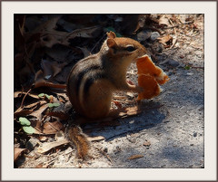 (Piscesgirl2~) Tags: ontario canada cute nature animal spring woods little critter chipmunk bej anawesomeshot