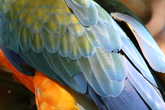 "02 09_ CR_ Zoo Ave_ Macaw plumage • <a style=""font-size:0.8em;"" href=""http://www.flickr.com/photos/30765416@N06/4520239211/"" target=""_blank"">View on Flickr</a>"