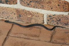 Pseudechis porphyriacus (Red-bellied Black Snake) (Arthur Chapman) Tags: snake australia queensland toowoomba venomous pseudechisporphyriacus redbelliedblacksnake taxonomy:class=reptilia taxonomy:kingdom=animalia taxonomy:phylum=chordata taxonomy:order=squamata taxonomy:family=elapidae geo:country=australia pseudechis porphyriacus taxonomy:common=redbelliedblacksnake geocode:method=gps geocode:accuracy=100meters taxonomy:genus=pseudechis taxonomy:binomial=pseudechisporphyriacus geo:region=australasia