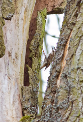 IMG_0773 Tree Creeper at nest, Brandon Marsh, Warwickshire 16Apr10 (Lathers) Tags: birds canon brandon 7d warwickshire treecreeper brandonmarsh canonef300f4lisusm canon7d wildinthemidlands 16apr10