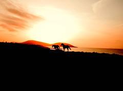 Room to Roam (Mick H 51) Tags: ireland sunset horses horse west silhouette canon island eos bay coast clare sigma mayo westport 1020 clew louisburgh 450d flickrgolfclub