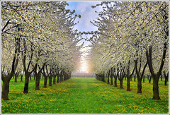 Spring Avenue (Jean-Michel Priaux) Tags: flowers trees sun france art nature field grass photoshop painting landscape mirror spring nikon perspective dream symmetry peinture dreaming dandelion pointofview alsace plantation avenue paysage printemps mirroir barr anotherworld mirabelle alignment pissenlit alignement symtrie deph saintpierre d90 epfig fruitiers priaux mirabellier arbresfruitiers superaplus aplusphoto bestcapturesaoi elitegalleryaoi