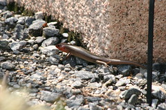 "Broad headed skink • <a style=""font-size:0.8em;"" href=""http://www.flickr.com/photos/30765416@N06/4528581925/"" target=""_blank"">View on Flickr</a>"