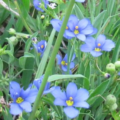 blue-eyed grass wildflower