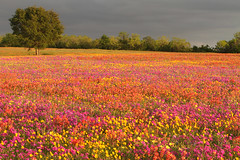 strawberry fields forever... (jmtimages) Tags: life pink flowers blue red orange tree green nature colors field yellow rural canon landscape spring rainbow texas purple outdoor weekend country indigo saturday 7d april wildflower avril printemps seguin 2010 samedi newberlin guadalupecounty
