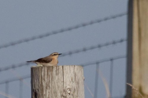 Female wheatear?