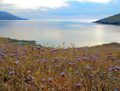 An early summer morning (Nick in Greece) Tags: andros limoniumsinuatum korthi
