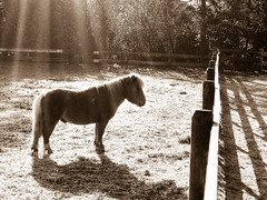 Ray of light (Channed) Tags: morning light bw horse sunshine sepia sunrise morninglight ray pony sunbeam shetland ochtend paard shetlandpony rayoflight zonnestraal slagharen zonnestralen shetlander ponyparkcityslagharen ponyparkcity chantalnederstigt