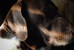 Buddy 1 (Shannon Donoho) Tags: dog animal animals pointer buddy german shorthaired