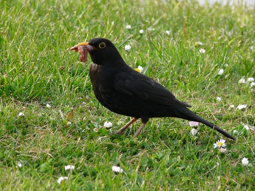 12308 - Blackbird with stuffed beak