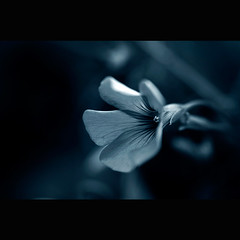 ~} (A.Vale) Tags: blue macro art portugal azul digital lights petals dof flor duotone luzes tamron pétalas canon500d avale