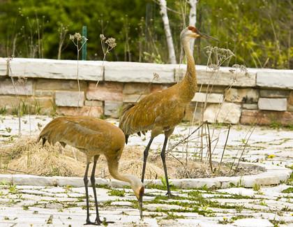 Sandhill cranes W_MFM8235