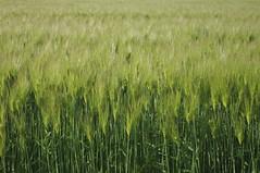 Wheat field / 小麦畑