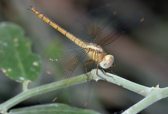 Dragonfly, Chobe National Park Botswana