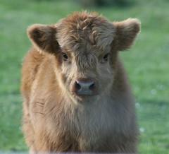 Heelan' Coo Calf (Misty Jane) Tags: impressedbeauty newgoldenseal