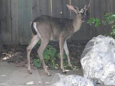 Oakland Bambi