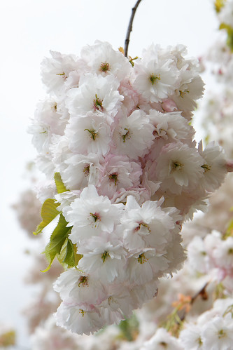 Keukenhof Blossom