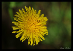 Dent-de-lion (old French name) (Lynn Roebuck) Tags: flower yellow dandelion botany wildflower herb taraxacumofficinale dentdelion culinarydelight simplepleasuresarethebest roebuck