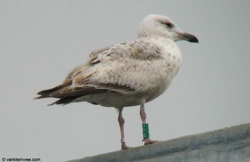European Herring Gull, 2cy, G[Y.ALM]