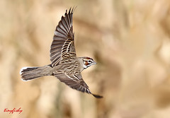 (Species# 398) A Lark Sparrow (tinyfishy (Gone to Cuba)) Tags: bird mexico flying inflight sparrow bajacalifornia banking lark sanjosedelcabos bajapenninsula
