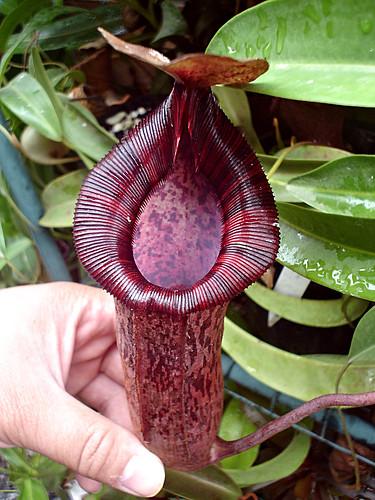 N. spectabilis x (lowii x ventricosa)