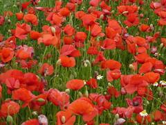 Amapolas (targarina) Tags: flores planta rojo amarillo campo catalunya silvestre catalua lleida amapolas trrega semilla campodeamapolas verdecomarcaurgell